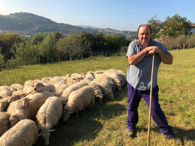 basque shepherd with flock of sheep